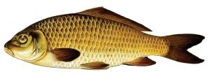 common-carp