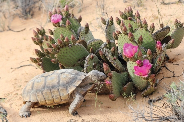 Desert tortoise are a rare and protected species.