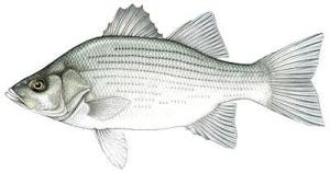 White_Bass