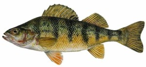 yellowperch