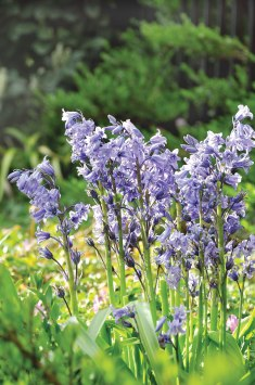 Bluebells of various kinds and shades of blue are everywhere in spring.