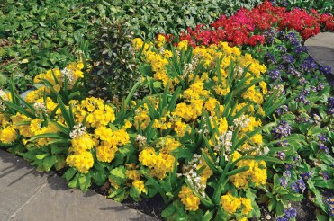 Primula spills sunshine over the ground.