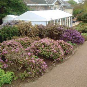 Rhododendrons in full bloom at Edinburgh Botanical Garden.