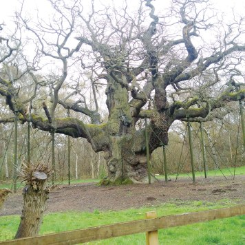 An ancient tree in Sherwood Forest.