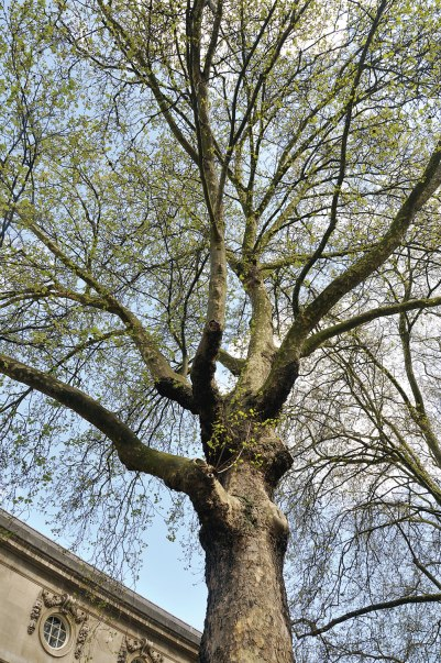The famous and magnificent planer trees of London are very tough and adaptable.