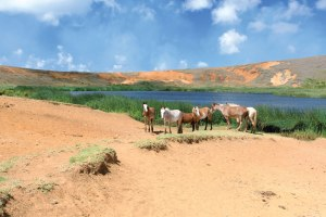 Brought by the missionaries, thousands of wild horses now wander the island.