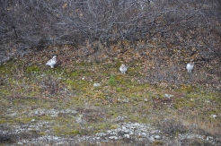 Snowy white ptarmigans sit quietly under a bush.