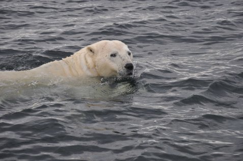 Watching bears in the sea allows you to get close safely.